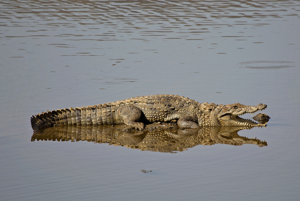 Crocodile at Ranthambore Wildlife